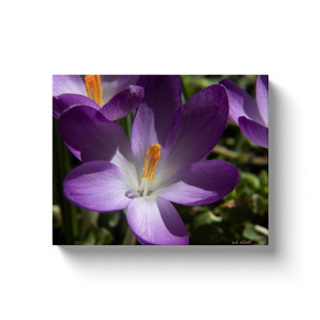 A macro photograph of a crocus. Taken by the Arkansas photographer a.d. elliott. #TaketheBackRoads  Printed on high-quality, artist-grade stock and folded around a lightweight frame to give them a gorgeous, gallery-ready appearance. With acid free ink that will last without fading or chipping, Features a scratch-resistant UV coating. Wipes clean easily with a damp cloth or to remove dust, vacuum gently using a soft brush attachment.