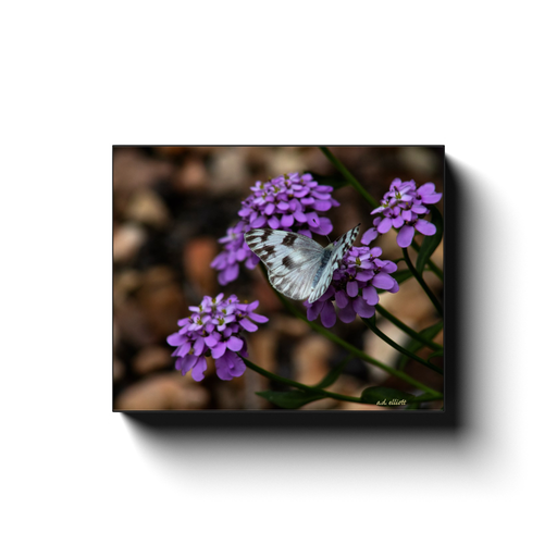 A macro photograph of Yarrow and a Checkered White Moth. Taken by the photographer a.d. elliott - Take the Back Roads - #TaketheBackRoads  Printed on high quality, artist-grade stock and folded around a lightweight frame to give them a gorgeous, gallery-ready appearance. With acid-free ink that will last without fading or chipping, Features a scratch-resistant UV coating. Wipes clean easily with a damp cloth or to remove dust, vacuum gently using a soft brush attachment.