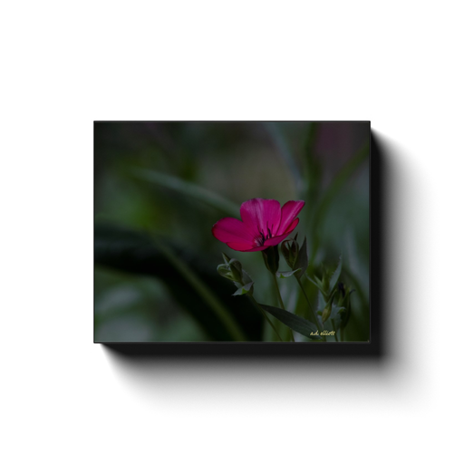 A macro photograph of a red flax flower. Taken by the photographer a.d. elliott  Printed on high quality, artist-grade stock and folded around a lightweight frame to give them a gorgeous, gallery-ready appearance. With acid-free ink that will last without fading or chipping, Features a scratch-resistant UV coating. Wipes clean easily with a damp cloth or to remove dust, vacuum gently using a soft brush attachment.