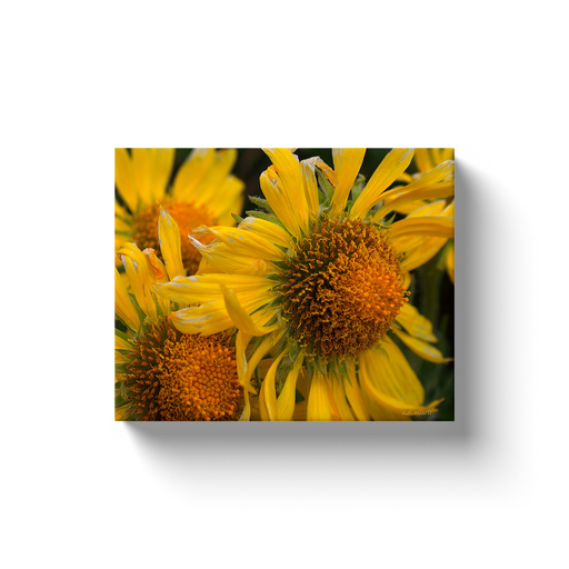 A macro photography of bright yellow alpine sunflowers.  Printed on high quality, artist-grade stock and folded around a lightweight frame to give them a gorgeous, gallery-ready appearance. With acid-free ink that will last without fading or chipping, Features a scratch-resistant UV coating. Wipes clean easily with a damp cloth or to remove dust, vacuum gently using a soft brush attachment.