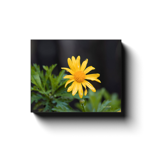 A macro photograph of a Marguerite (Yellow Daisy), taken by the photographer a.d. elliott #TaketheBackRoads  Printed on high quality, artist-grade stock and folded around a lightweight frame to give them a gorgeous, gallery-ready appearance. Print sizes - 8x10 to 24x30