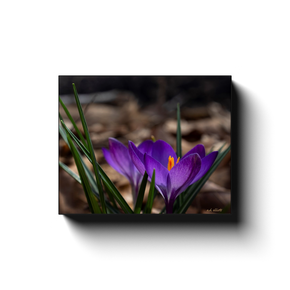 A macro photograph of crocus flowers, taken by the Arkansas photographer a.d. elliott. #TaketheBackRoads  Printed on high quality, artist grade stock and folded around a lightweight frame to give them a gorgeous, gallery ready appearance. With acid free ink that will last without fading or chipping, Features a scratch-resistant UV coating. Wipes clean easily with a damp cloth or to remove dust, vacuum gently using a soft brush attachment.