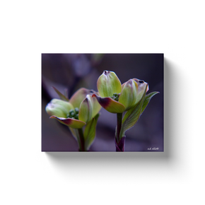 A macro photograph of dogwood blossoms taken by the photographer a.d. elliott Printed on high quality, artist grade stock and folded around a lightweight frame to give them a gorgeous, gallery ready appearance. With acid free ink that will last without fading or chipping, Features a scratch-resistant UV coating. Wipes clean easily with a damp cloth or to remove dust, vacuum gently using a soft brush attachment.