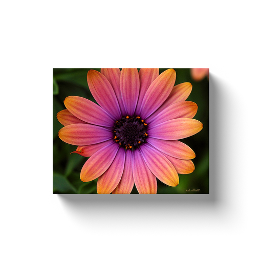 A macro photograph of an orange and pink daisy. Taken by the Arkansas photographer a.d. elliott. #TaketheBackRoads  Printed on high-quality, artist-grade stock and folded around a lightweight frame to give them a gorgeous, gallery-ready appearance. With acid-free ink that will last without fading or chipping, Features a scratch-resistant UV coating. Wipes clean easily with a damp cloth or to remove dust, vacuum gently using a soft brush attachment.