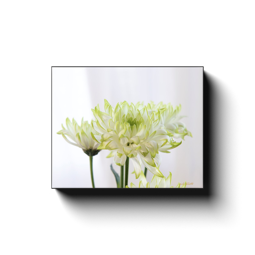 A macro photograph of white dahlia's with yellow tips, taken by the nature photographer a.d. elliott.  Printed on high quality, artist grade stock and folded around a lightweight frame to give them a gorgeous, gallery ready appearance. With acid free ink that will last without fading or chipping, Features a scratch-resistant UV coating. Wipes clean easily with a damp cloth or to remove dust, vacuum gently using a soft brush attachment.