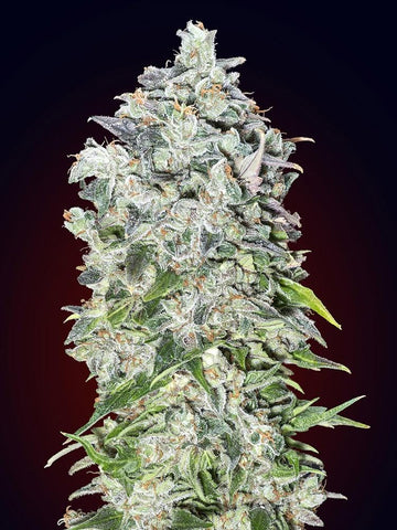 00 Kush Feminised Seeds - Aceitronics