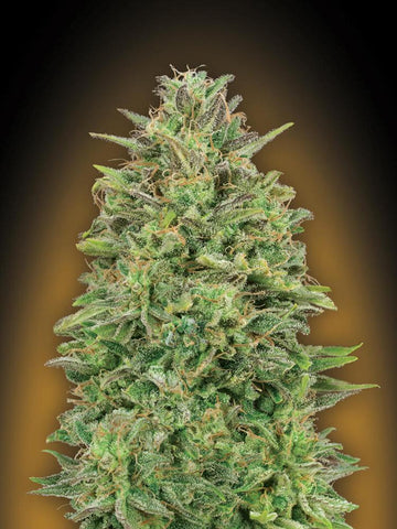 00 Skunk Feminised Seeds - Aceitronics