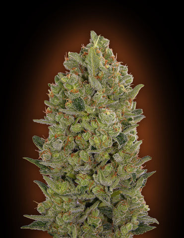 00 Cheese Feminised Seeds - Aceitronics