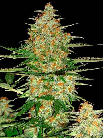60 Day Wonder Auto Feminised Seeds - Aceitronics