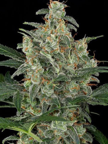 710 Cheese Feminised Seeds - Aceitronics