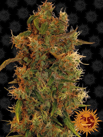 8 Ball Kush Feminised Seeds - Aceitronics
