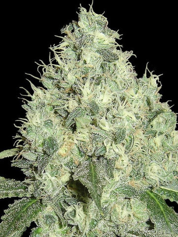 91 Krypt Regular Seeds - Limited Collection - Aceitronics