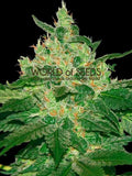 Afghan Kush Regular Seeds - Aceitronics