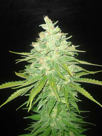 Afghan Kush x Black Domina Feminised Seeds - Aceitronics