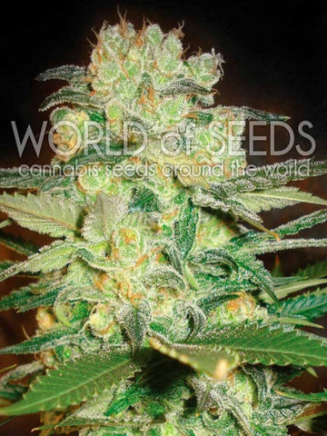 Afghan Kush x White Widow Feminised Seeds - Aceitronics