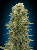 Afghan Mass Auto Feminised Seeds - Aceitronics