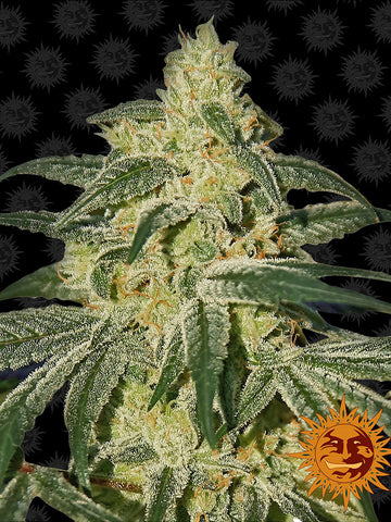 Afghan Hash Plant Regular Seeds - 10 - Aceitronics