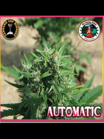 Auto Feminised Seeds - Aceitronics
