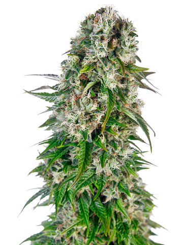 Big Bud Auto Feminised Seeds - Aceitronics