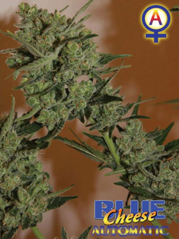Blue Cheese Auto Feminised Seeds - Aceitronics