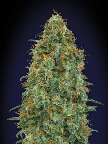 Blueberry Feminised Seeds - Aceitronics