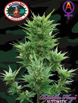 Buddha Haze Auto Feminised Seeds - Aceitronics