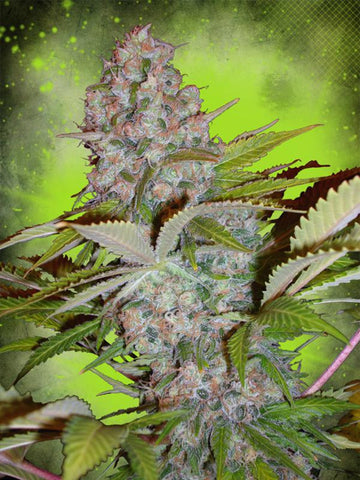 Cheese NL Auto Feminised Seeds - Aceitronics