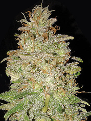 Chocolate Orange Auto Feminised Seeds - Aceitronics