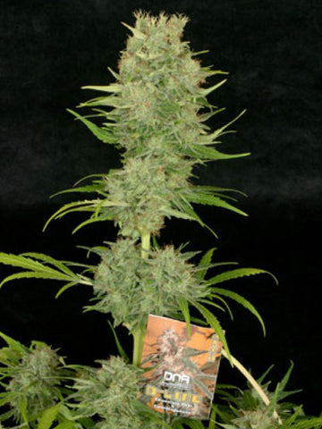 Chocolope Feminised Seeds - Aceitronics
