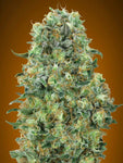 Collection #6 Feminised Seeds - 6 - Aceitronics