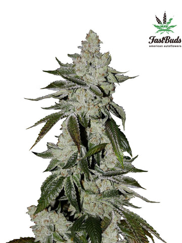 Cookies Auto Feminised Seeds - Aceitronics