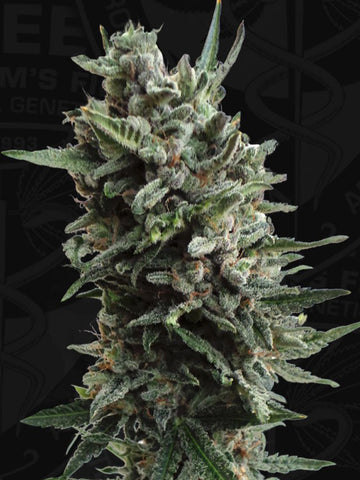 Critical Hog Auto Feminised Seeds - Aceitronics