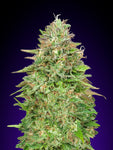 Critical Poison FAST Feminised Seeds - Aceitronics