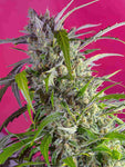 Crystal Candy Auto Feminised Seeds - Aceitronics