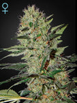 Exodus Cheese CBD Auto Feminised Seeds - Aceitronics