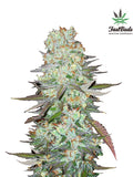 G14 Auto Feminised Seeds - Aceitronics