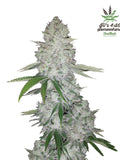 Glue Auto Feminised Seeds - Aceitronics
