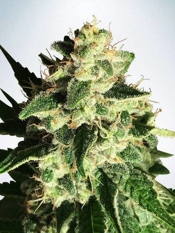 God's Glue Auto Feminised Seeds - Aceitronics
