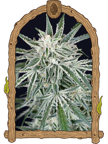 Green Gummy Auto Feminised Seeds - Aceitronics