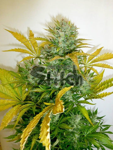 Kush Van Stitch Autoflowering Regular Seeds - 8 - Aceitronics