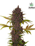 LSD - 25 Auto Feminised Seeds - Aceitronics