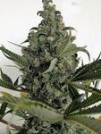 Lake OG Feminised Seeds - Aceitronics