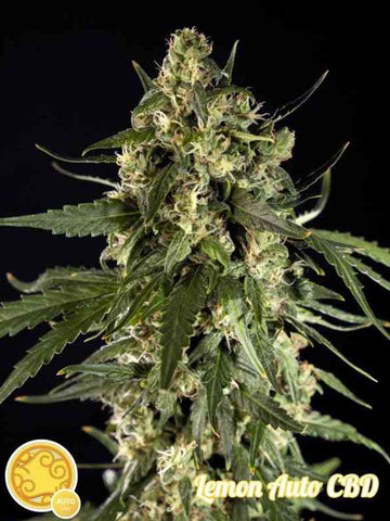 Lemon CBD Auto Feminised Seeds - Aceitronics