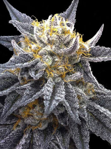 SSOG Feminised Seeds (Crockett Family Farms) - Aceitronics