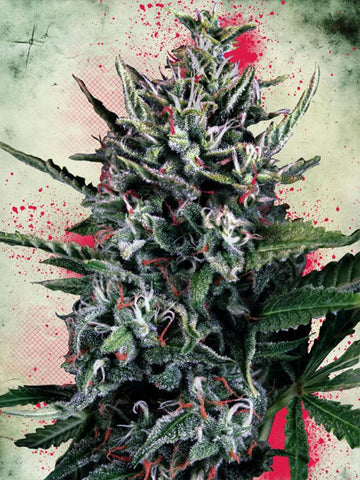 Silver Bullet Auto Feminised Seeds - Aceitronics