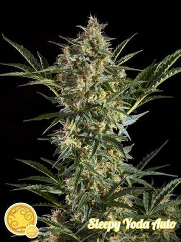 Sleepy Yoda Auto Feminised Seeds - Aceitronics