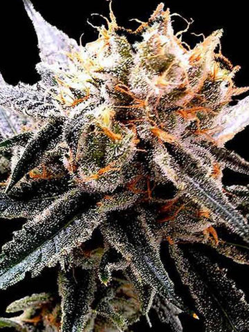 Sour Tangie Feminised Seeds - Aceitronics