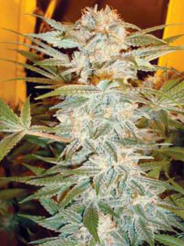 Stacked Kush Feminised Seeds - Aceitronics