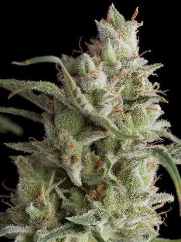 Super OG Kush Auto Feminised Seeds