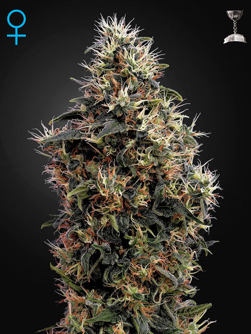 Sweet Mango Auto Feminised Seeds - Aceitronics